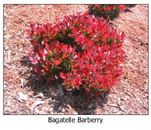 Bagatelle-Barberry
