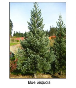 Blue-Sequoia