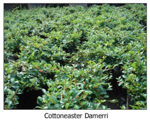 Cottoneaster-Damerri