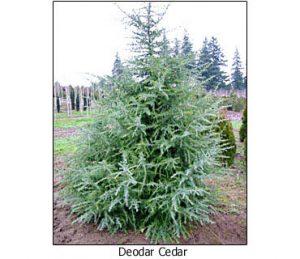 Deodar-Cedar
