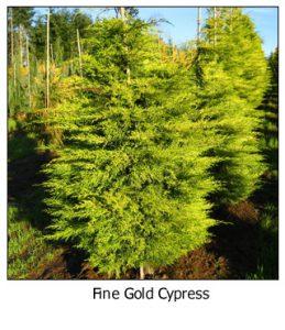 Fine-Gold-Cypress