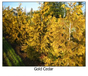 Gold-Cedar