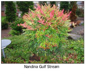 Gulf-Stream-Nandina