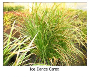 Ice-Dance-Carex