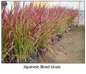 Japanese-Blood-Grass