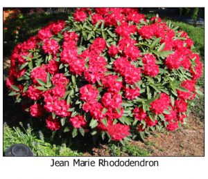 Jean-Marie-Rhododendron