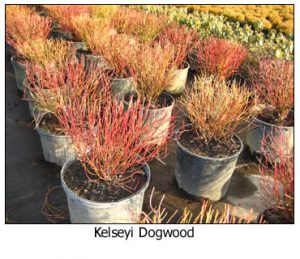Kelseyi-Dogwood