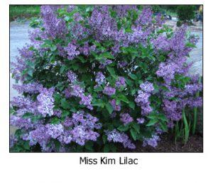 Miss-Kim-Lilac