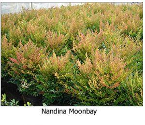 Nandina-Moonbay