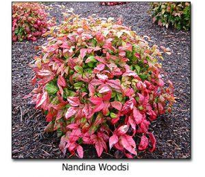 Nandina-Woodsi