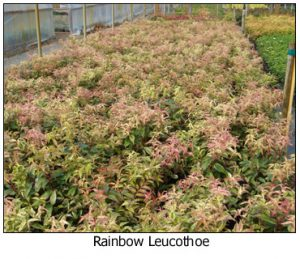 Rainbow-Leucothoe