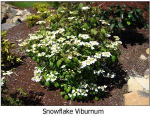 Snowflake-Viburnum