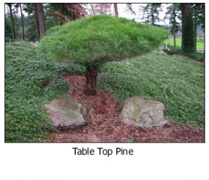 Table-Top-Pine