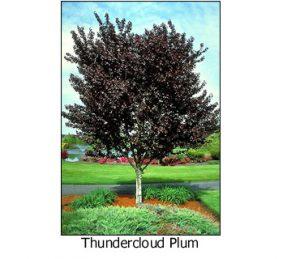 Thundercloud-Plum