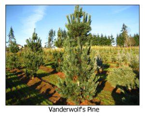 Vanderwolfs-Pine