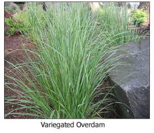 Variegated-Overdam