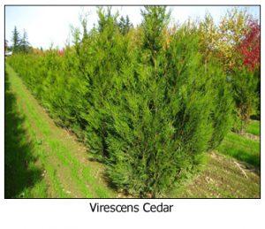 Virescens-Cedar