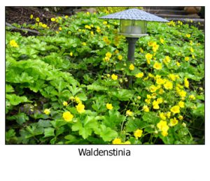 Waldenstinia