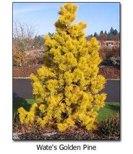 Wates-Golden-Pine