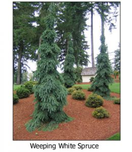 Weeping-White-Spruce