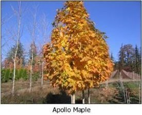 apollo-maple