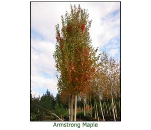 armstrong-maple
