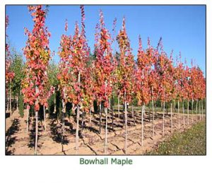 bowhall-maple