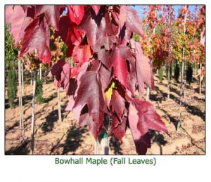 bowhall-maple-fall