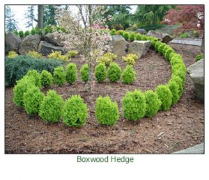 boxwood-true-dwarf