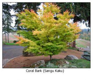 coral-bark-fall