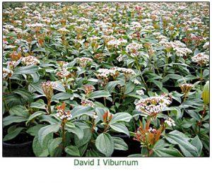 david-viburnum