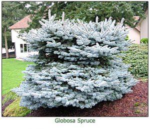 globosa-spruce