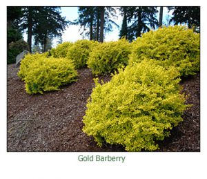 gold-barberry