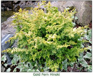 gold-fern-hinoki