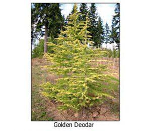 golden-deodar-cedar