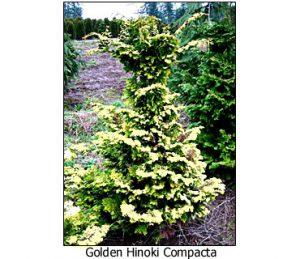 golden-hinoki-compacta