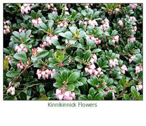 kinnikkinnick-flowers