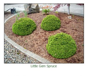 little-gem-spruce