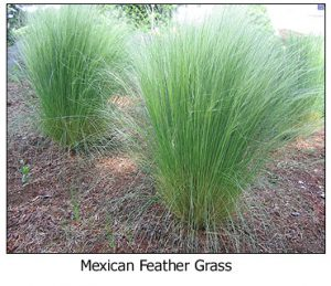 mexican-feather-grass