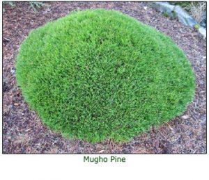 mugho-pine