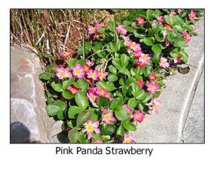 pink-panda-strawberry