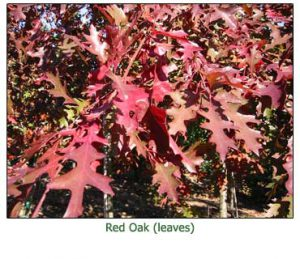 red-oak-leaves