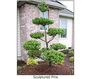 sculptured-pine