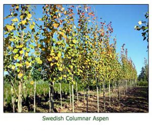 sweedish-columnar-aspen