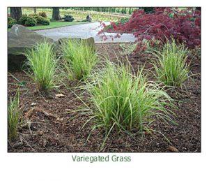 variegated-grass