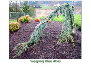 weeping-blue-atlas-cedar