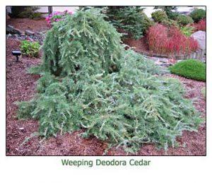 weeping-deodar-cedar