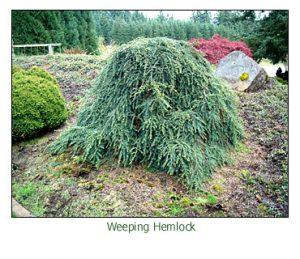 weeping-hemlock