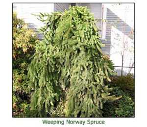 weeping-norway-spruce
