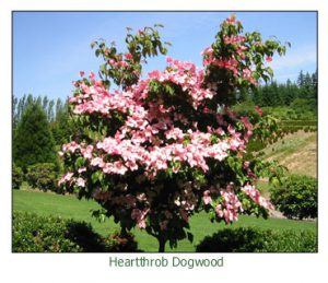 Heartthrob-Dogwood